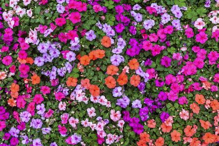 impatiens: Beautiful impatien flowers in the summer garden. Stock Photo