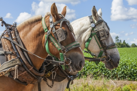 unmatched: An unmatched team of draft horses in harness on the farm.