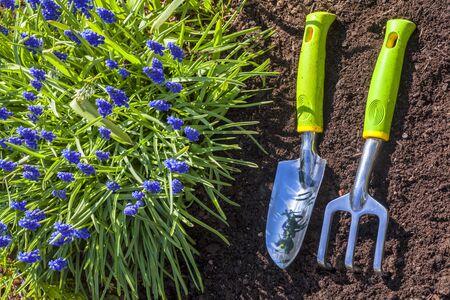Garden trowel and rake in the spring garden.  Next to a grape hyacinth.
