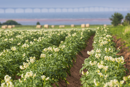 confederation: Potatoes plants growing in a field in rural Prince Edward Island. The Confederation Bridge is in the distant background. Shallow depth of field. Stock Photo
