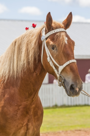 draft horse: Beautiful Belgian draft horse in show condition.