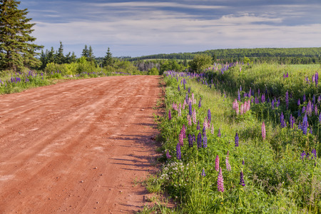 edward: Lupins growing wild  and flowering along the roadsides and streams or rural Prince Edward Island, Canada. Stock Photo