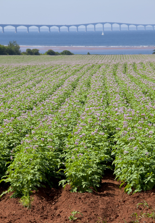 confederation: Rows of flowering potato plants in a potato field with the Confederation Bridge in the distant background.
