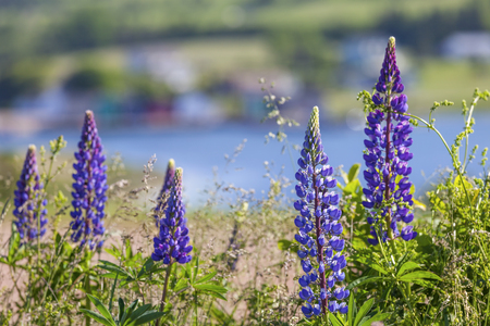 lupins: Lupins growing wild  and flowering along the roadsides and streams or rural Prince Edward Island, Canada