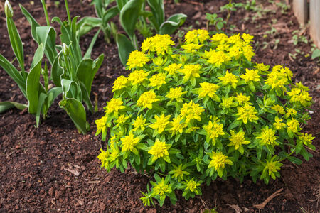 punctuate: Cushion spurge (E. epithymoides) is one of the most commonly grown garden spurges. Its profuse neon-yellow bracts punctuate the early spring garden.