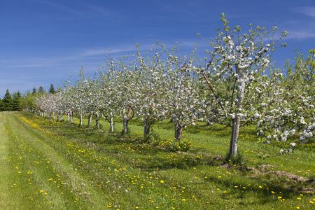 Beautiful white blossom of apple trees in a farm commecial apple orchard in springtime. photo