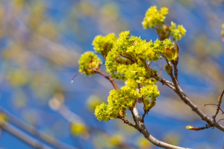 acer platanoides: Branches of spring flowers of the Norway Maple, Acer platanoides