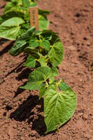 Young bean plants in the home vegetable garden or farm. photo