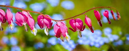 Bleeding Heart flower (Dicentra spectabilis) in the spring garden. photo