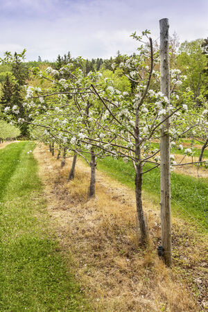 trained: Young blooming trees in an apple orchard staked and trained on wires.