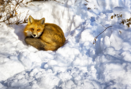 red animal: A wild fox sleeping in a urban garden in winter