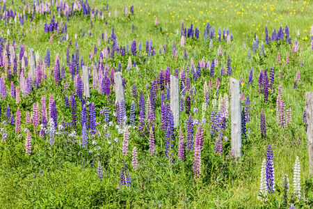 lupins: Lupins growing wild  and flowering along the roadsides and streams or rural Prince Edward Island, Canada. Stock Photo
