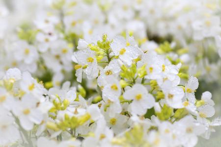 Rain drops on white arabis, an early spring flowering perennial in the home garden. photo