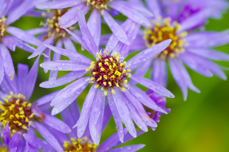 novae: Wildflower, the Michaelmas daisy or Aster novae angliae growing wild in Alberta. Native to much of Canada and the United States east of the rockies.
