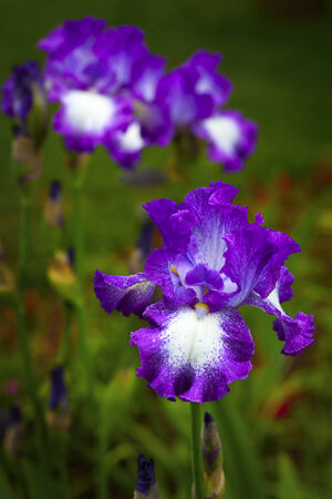 Purple and white bearded iris in the home garden. photo