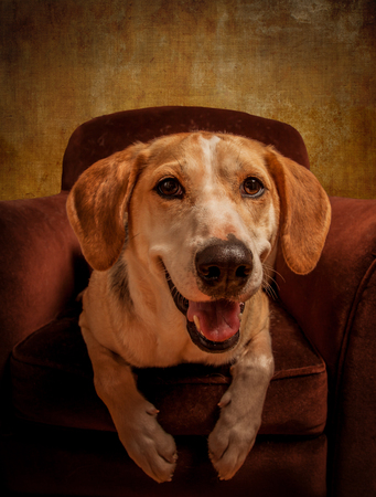 texturized: Foxhound beagle cross American dog posing in an armchair. Composed with a rich texturized effect.