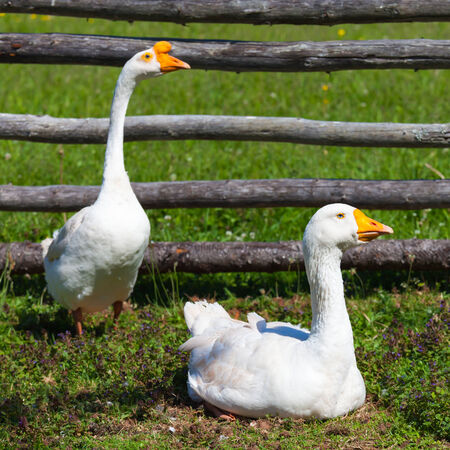 fenced in: Farm geese within a fenced in barnyard enclosure.