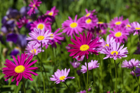 closeup of pink daisy with: Pink painted daisies (Tanacetum coccineum) in the summer garden