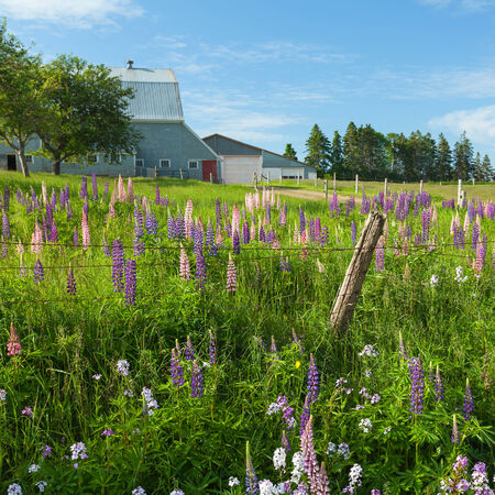 fencepost: Lupins and phlox growing wild and flowering along the roadsides and streams or rural Prince Edward Island, Canada.