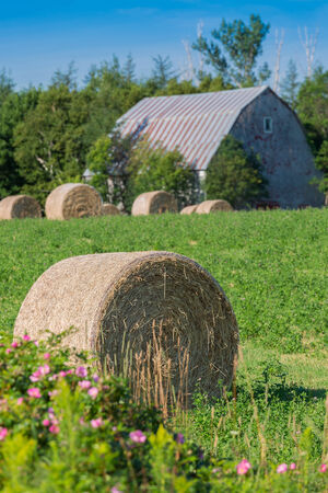 canada agriculture: Farmland scene in rural Prince Edward Island, Canada. Wild roses in the foreground. Stock Photo