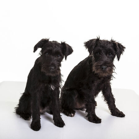 Two black miniature schnauzer puppies. photo