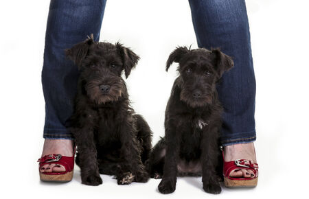 Two black miniature schnauzer puppies posed between two legs with brightly colored sandals. photo