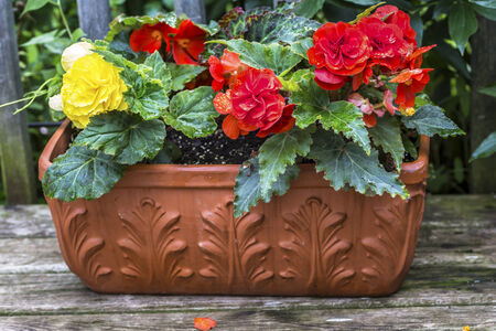 begonia: A terracotta planter filled with colorful Nonstop Begonias on a wooden deck. Stock Photo