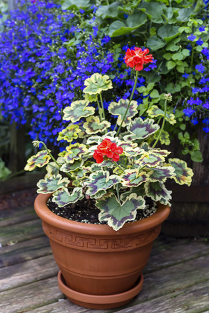 lobelia: Variegated leaf geranium growing in a clay pot on a home patio. Stock Photo