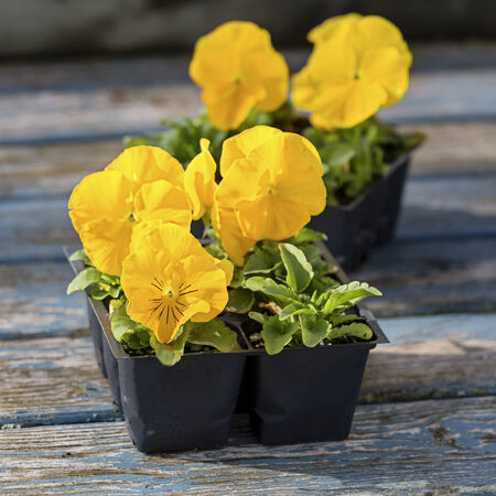 transplants: Packs of bright yellow garden pansies still in garden packs and ready to plant in the home garden.