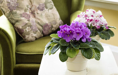 violet: African violets in a home setting Stock Photo