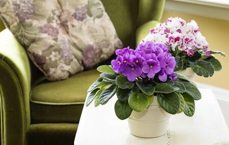 violeta: Violetas africanas en un ambiente de hogar