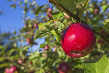 APPLE trees: Trees with ripe red apples in a farms apple orchard. Stock Photo