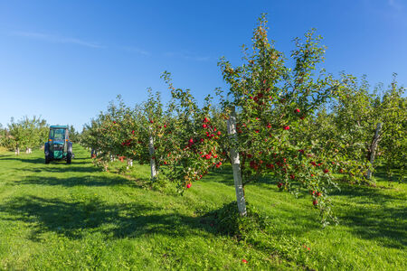 orchard: Trees with ripe red apples in a farms apple orchard. Stock Photo