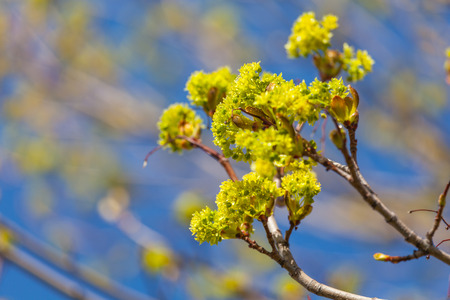 acer platanoides: Branches of spring flowers of the Norway Maple, Acer platanoides.