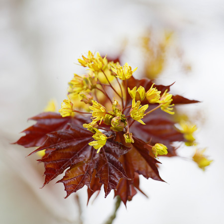 acer: Flower of a red maple, Acer rubrum, in the early spring.