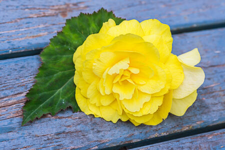 non: Yellow Non Stop begonia flower against an old wooden .
