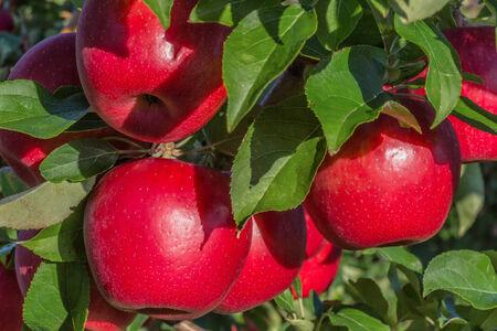 Red ripe Honeycrisp apples hanging on the tree.