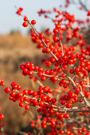 winterberry: Ilex verticillata, the winterberry, is a species of holly native to eastern North America in the United States and southeast Canada,.