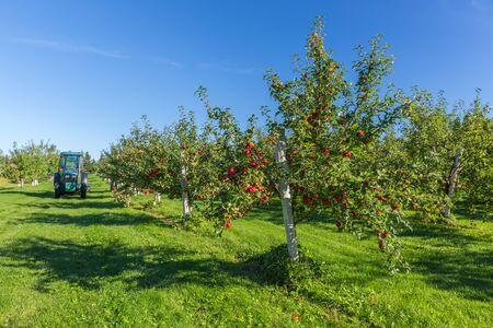 albero da frutto: Alberi con mele rosse mature nel meleto di una fattoria.
