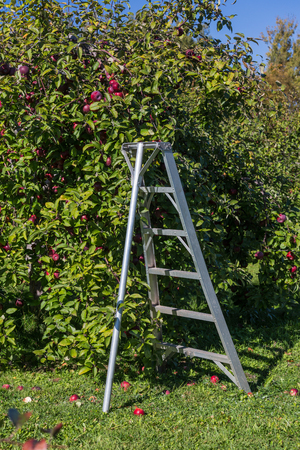 positioned: Orchard ladder positioned under an apple tree.
