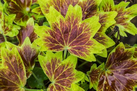 ornamental garden: Colorful leaves of an ornamental geranium garden plant.