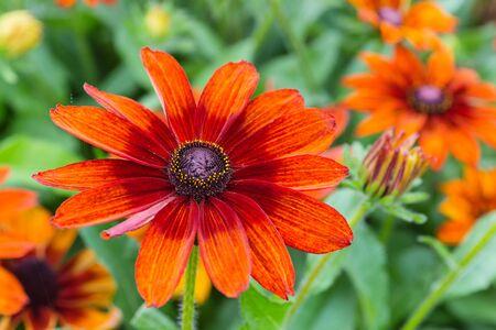 hirta: A pretty variety of garden rudbeckia called Autumn Colours.  Botanical name is Rudbeckia hirta Autumn Colours. Stock Photo