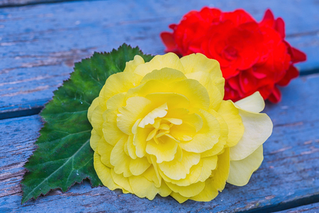 Large yellow and red flowers of the tuberous garden begonia variety Non Stop. Stock Photo