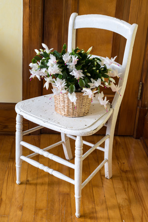 A Christmas cactus plant sitting on a rustic chair.