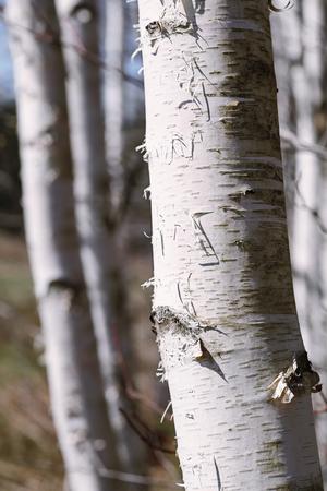 bark peeling from tree: Beautiful birch trees in winter.