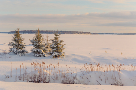 picea: Picea glauca or white spruce trees along the frozen waterfront in rural Prince Edward Island, Canada. Stock Photo