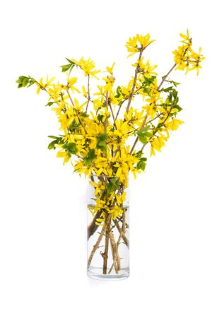 vase: Spring bouquet of yellow forsythia in a tall glass vase.