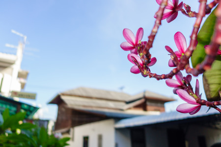 leelawadee: Leelawadee was the named in Thai language and if for the English, her name is Plumeria Stock Photo