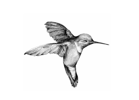 graphite: Hummingbird Illustration Stock Photo