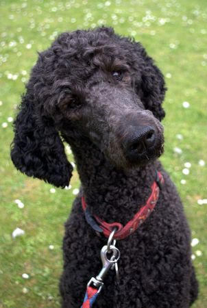 Poodle turning head and listening for commands photo